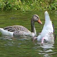 ОХОТА: на серого гуся